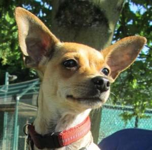 Mira Zweithund Hunde aneinander gewoehnen