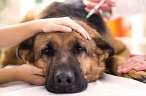 Häufige Krankheiten bei Tierschutz-Hunden
