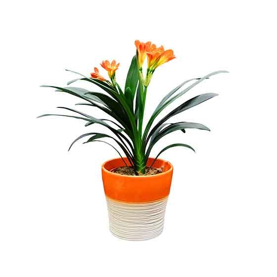 giftige Pflanze für Katzen Clivia