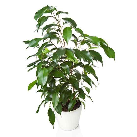 giftige Pflanze für Katzen Birkenfeige