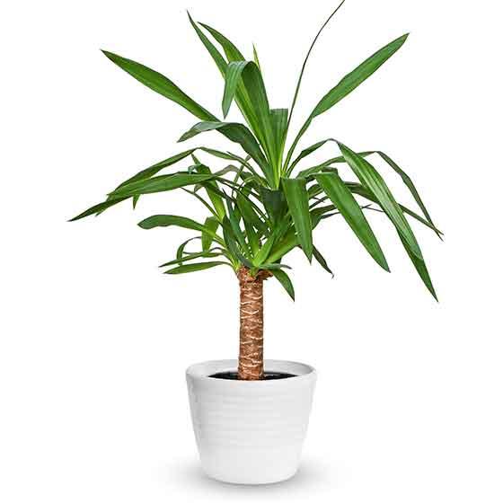 giftige Pflanze für Katzen Yuccapalme