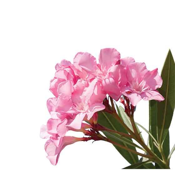 giftige Pflanze für Katzen Aralie