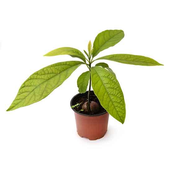 giftige Pflanze für Katzen Avocado