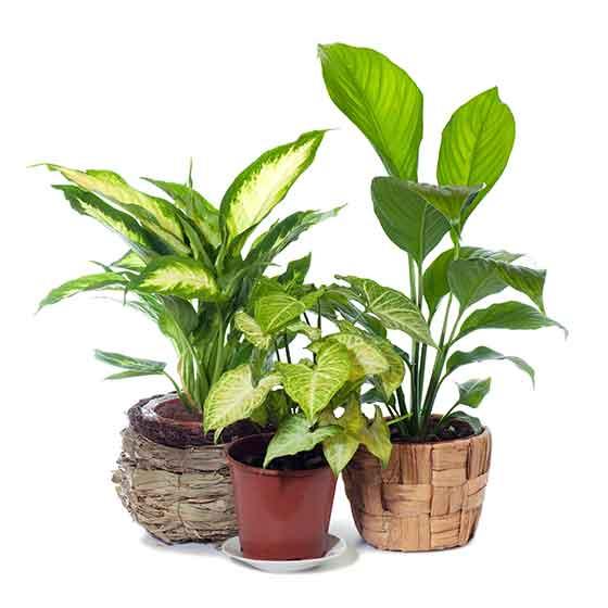 giftige Pflanze für Katzen Dieffenbachia