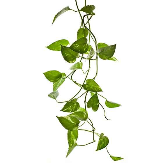 giftige Pflanze für Katzen Efeutute