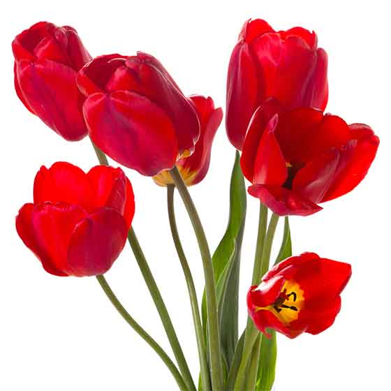 giftige Pflanze für Katzen Tulpe