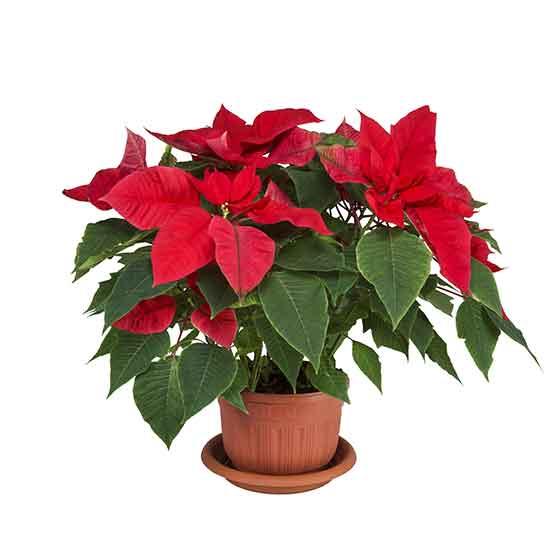 giftige Pflanze für Katzen Weihnachtsstern