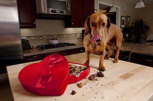 Schokoladenvergiftung-beim-Hund-1