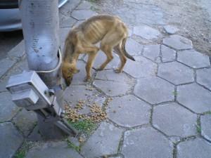 Streunerhilfe-Bulgarien-Grozdancho1