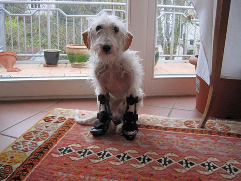 ProTier Hund mit Beinprothesen