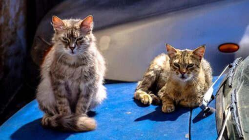 Warum es eine Kastrationspflicht für Katzen geben muss
