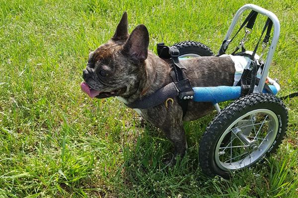 Rollihund-Bob-Tier-mit-Handicap-Tierschutz-Magazin