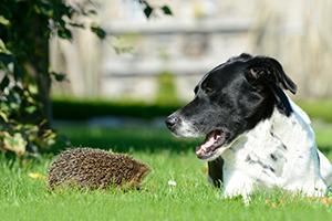 Tierschutz-Magazin 2016_Igel im Winter_Igel Hund Wiese_300x200px
