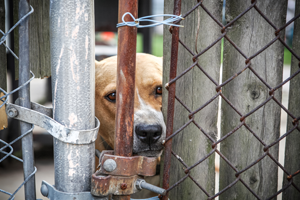 Tierschutz-Magazin 2018_Artikel Tierquälerei anzeigen_Hund Zaun_300x200px