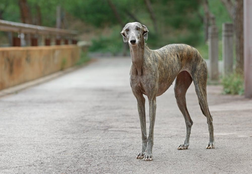 Tierschutz-Magazin Ausgabe 6 Artikel Tierschutz-Magazin Ausgabe 6 Artikel Das traurige Schicksal der Galgos in Spanien 1