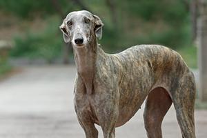 Tierschutz-Magazin Ausgabe 6_Tierschutz-Magazin Ausgabe 6 Artikel Das traurige Schicksal der Galgos in Spanien_Beitragsbild Galgo