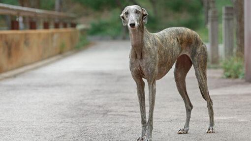 In Spanien sind Galgos in Not und werden zur Jagd missbraucht.
