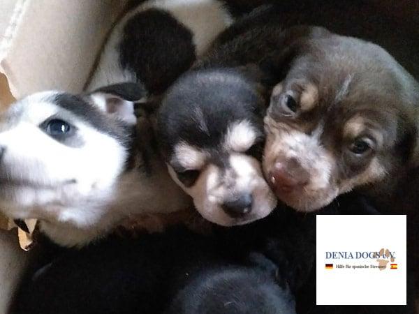 Welpen-und-Kitten-Alarm-Vereine-denia-dogs
