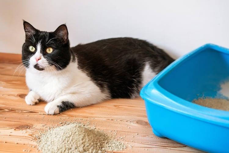Katze macht großes Geschäft nicht ins Klo