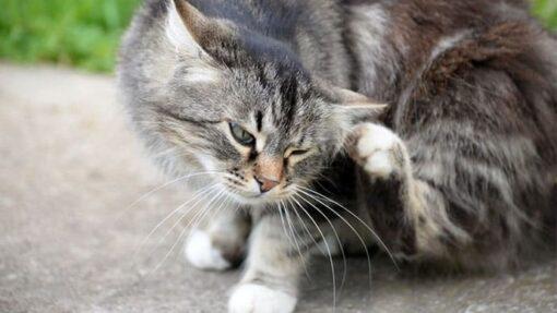 Flöhe bei Katzen - so wirst du das Ungeziefer wieder los!