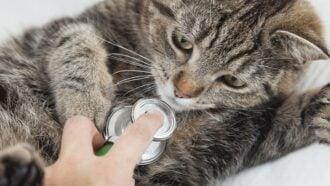 Schilddrüsenüberfunktion bei Katzen erkennen und behandeln