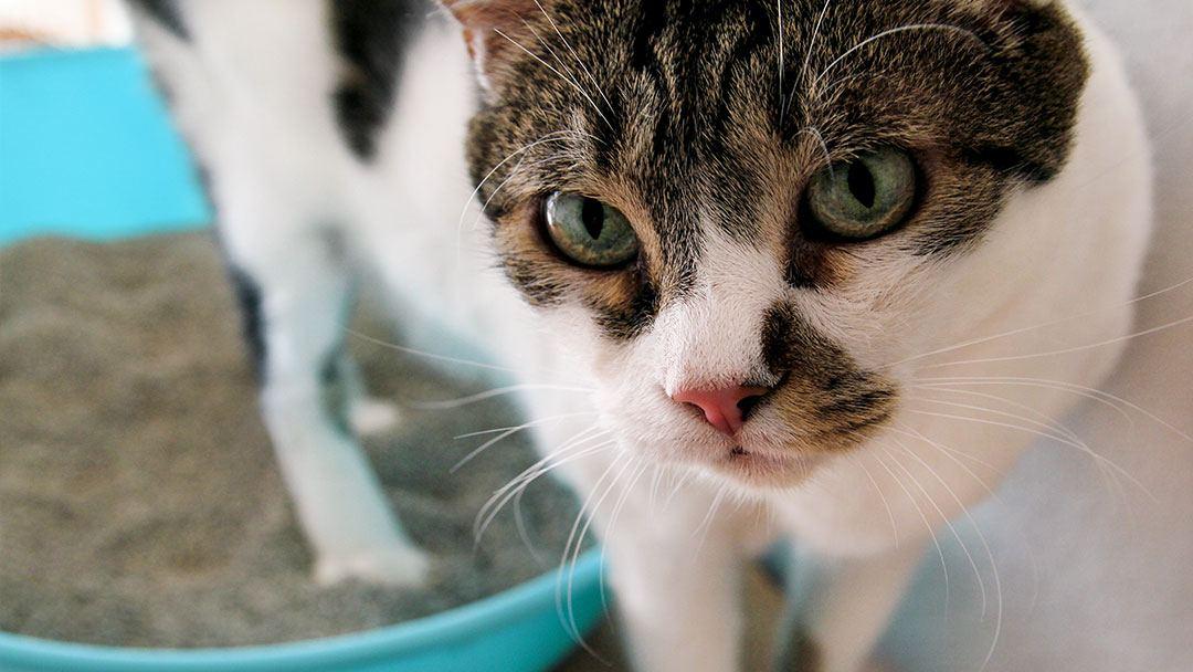 Katze in Katzentoilette