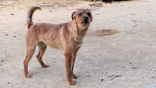 Herrenloser Hund in Sardinien