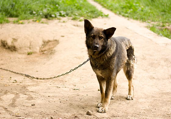 Hofhund an der Kette